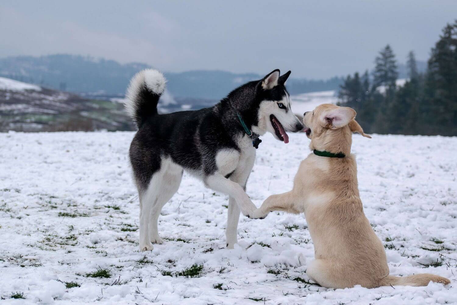 8 breeds of dogs that can withstand the cold well