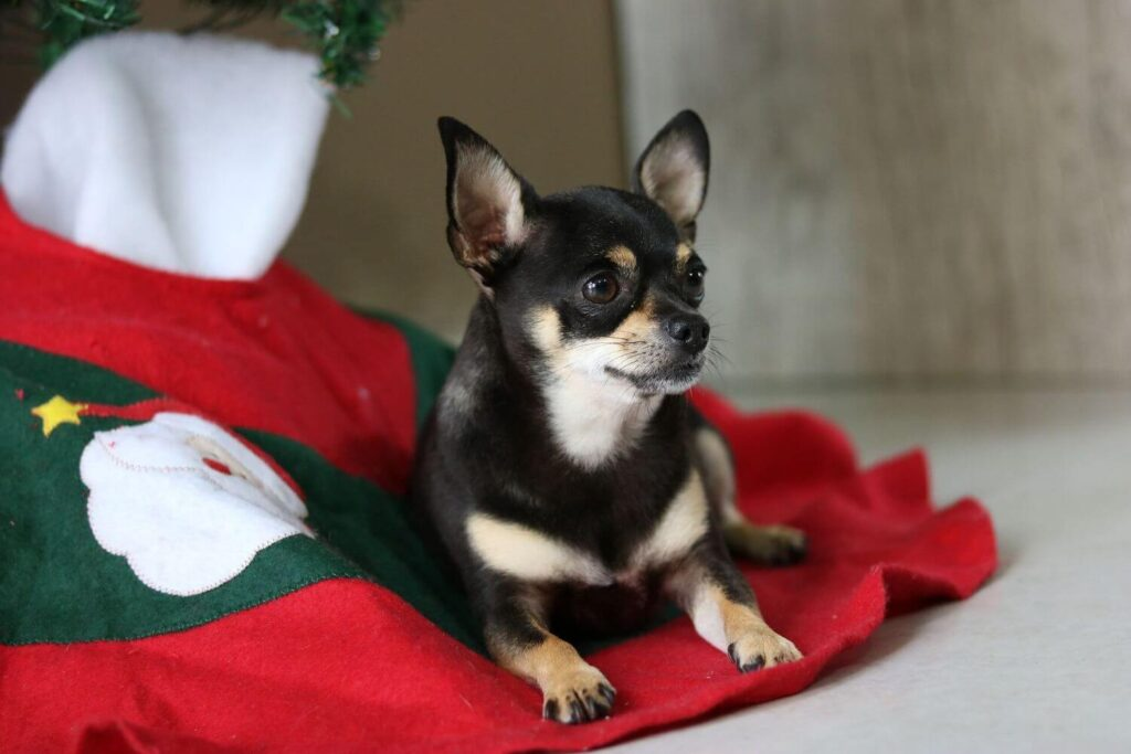 Tips for a safe Christmas with your dog