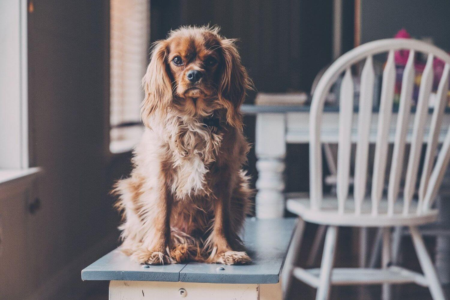 what should you do if your dog gets up on the table?