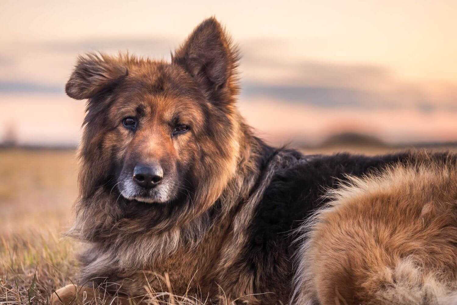 How to take care of your German Shepherd Dog