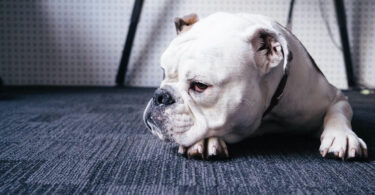 Diabetes in Dogs: Symptoms, Causes & Treatment